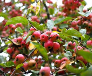 Small fruits of the ornamental apple tree are like beads along a branch.
