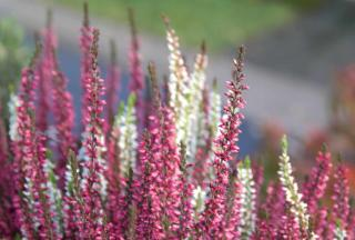 Heather, pink and white winter flowers