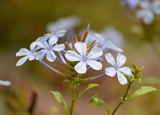 Light blue plumbago collar of flowers opening with greenery in the background