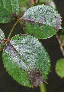 Rust starting to develop on Rose tree leaves.