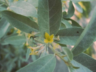 Soft yellow silverberry flower with typical specked silverberry leaves.