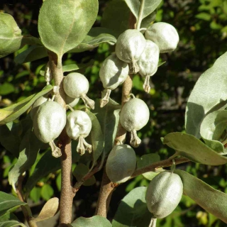 Branches of a silverberry bush loaded with silver-white berries.