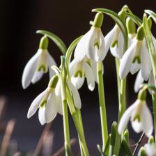 Snowdrop, a cute little flower