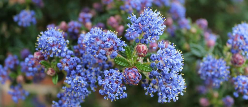 Blue soap bush flowers