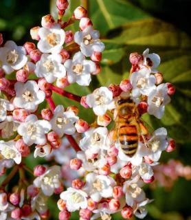Bee pollinating a Viburnum tinus lisarose plant.