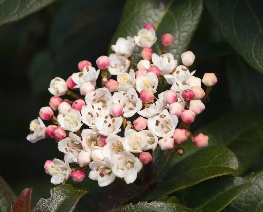 Flower of the viburnum tinus lisarose variety.