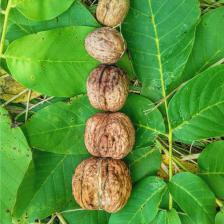 Walnut, growing delicious walnuts