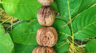 Harvested walnuts arranged on walnut leaves.