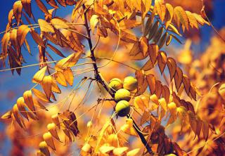 Blazing colors of gold for this fruit-bearing walnut tree branch.