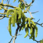 Bright green catkin flowers of the walnut tree.