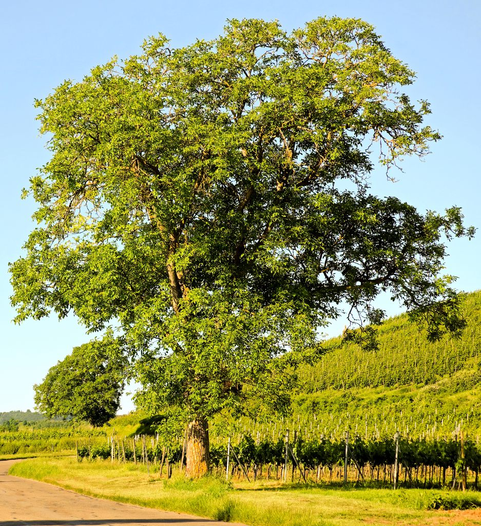 Walnut tree - planting, pruning, care and walnut harvest