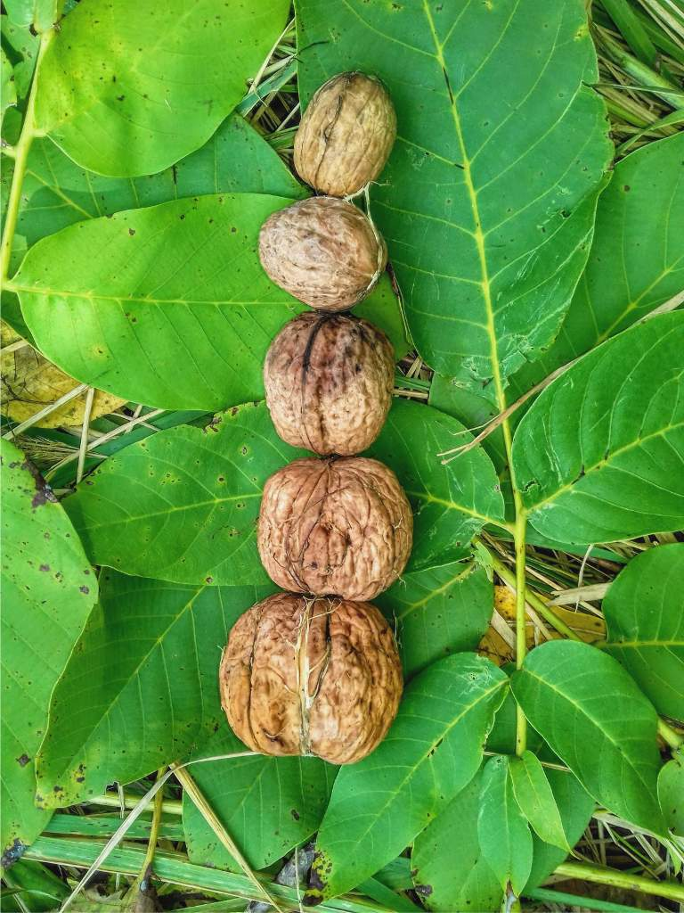 Walnut, growing delicious walnuts