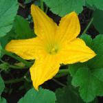 Open yellow zucchini flower and leaves.