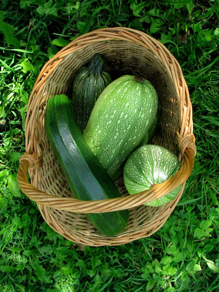 Zucchini in a wicker basket (four pieces) resting in a shaded piece of grass.