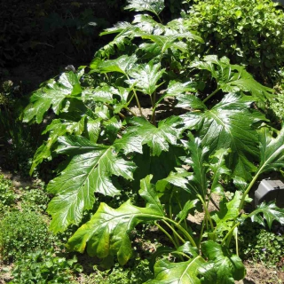 A single acanthus bush with about twenty large leaves but no flowers yet.