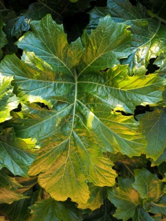 Acanthus leaves are huge and span dozens of inches long, like this deep green leaf.