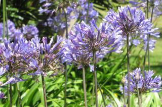 A flowerbed filled with blue-hued agapanthus flowers.
