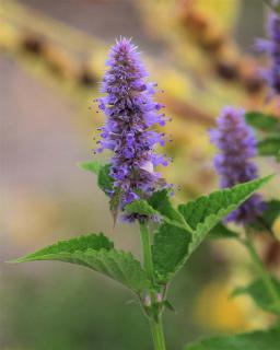 Beautiful purple-colored agastache flower close-up.