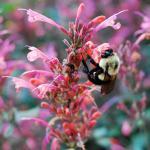 A bumblebee pollinating an agastache flower.