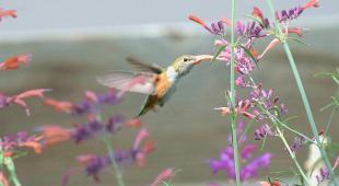 A hummingbird sipping nectar from an agastache flower.