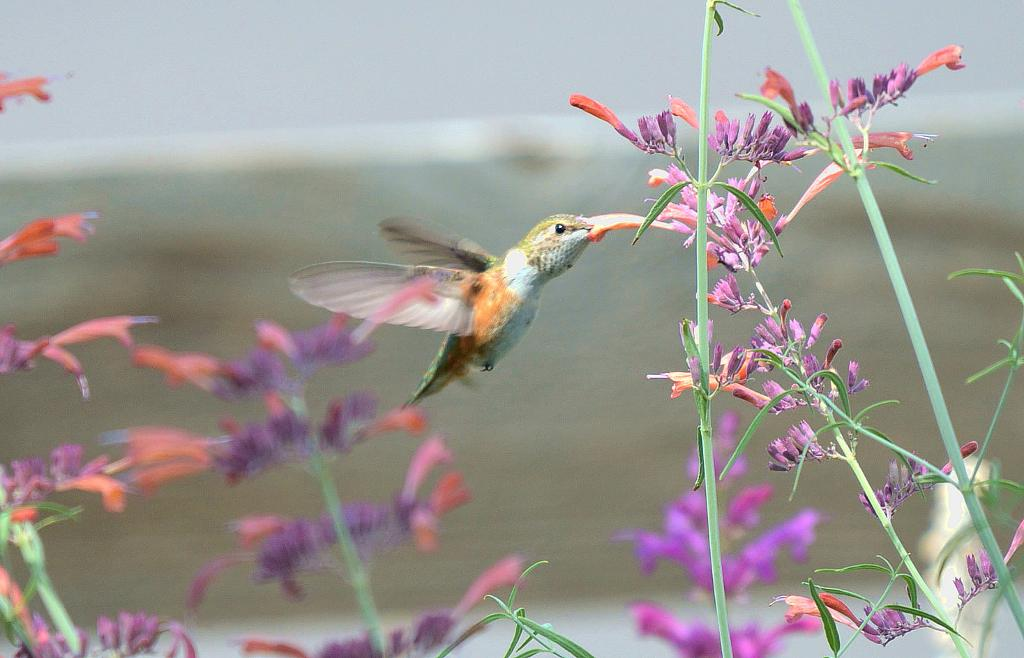 A hummingbird sipping nectar from an agastache flower.