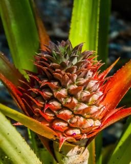Ananas comosus flower, red spikes on a stalk.