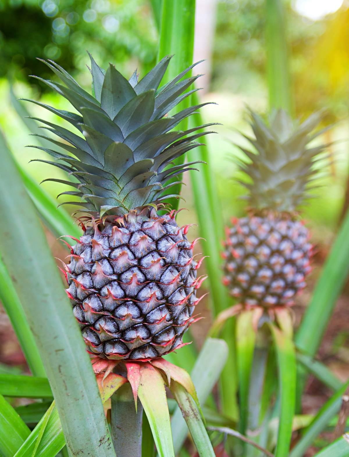 Ananas comosus – grow pineapples at home!