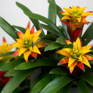 Bromelia guzmania flowers springing forth orange and yellow from deep green leafage.