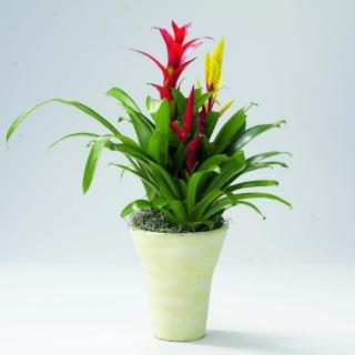 Bromelia guzmania and bromelia vriesea brought together in a pot arrangement.