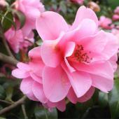 Camellia sasanqua, a fairy garden at the end of fall