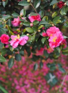 Petals fall from a pink-flowered Camellia sasanqua