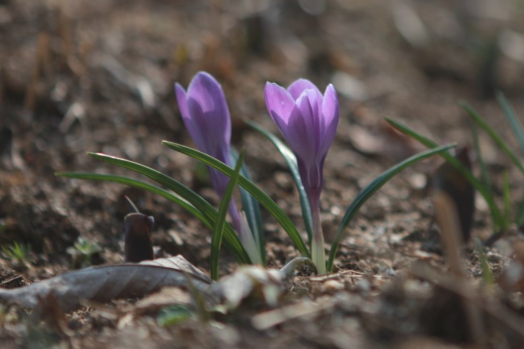 041e9460b Crocus - planting and advice on caring for it