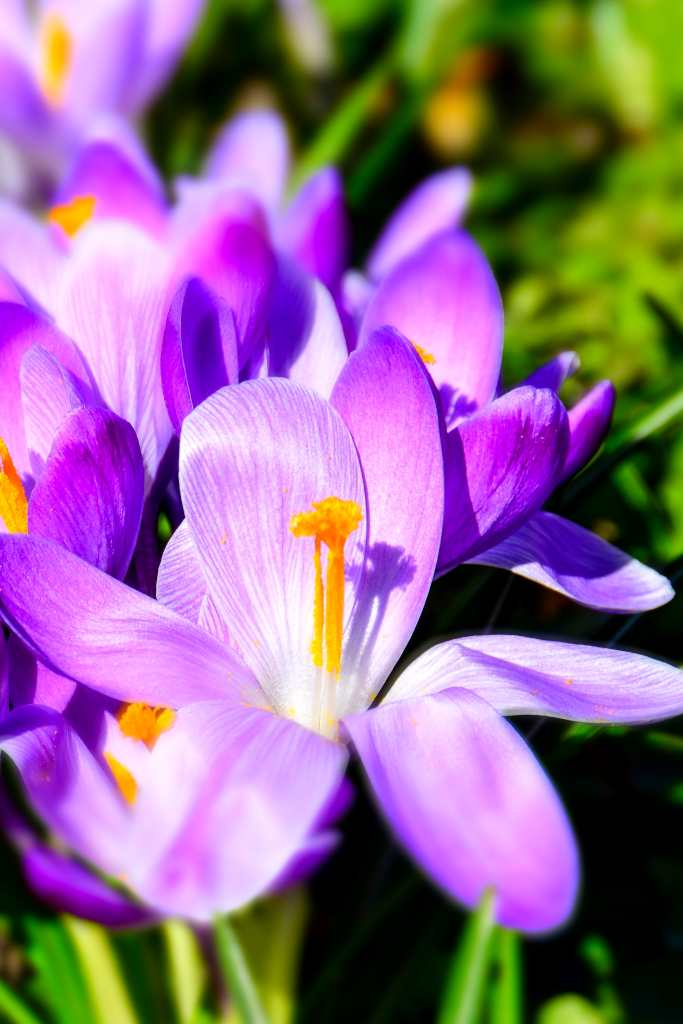 Crocus, among the first to bloom