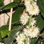 Dracaena massangeana flower releasing a pleasant scent in a house.