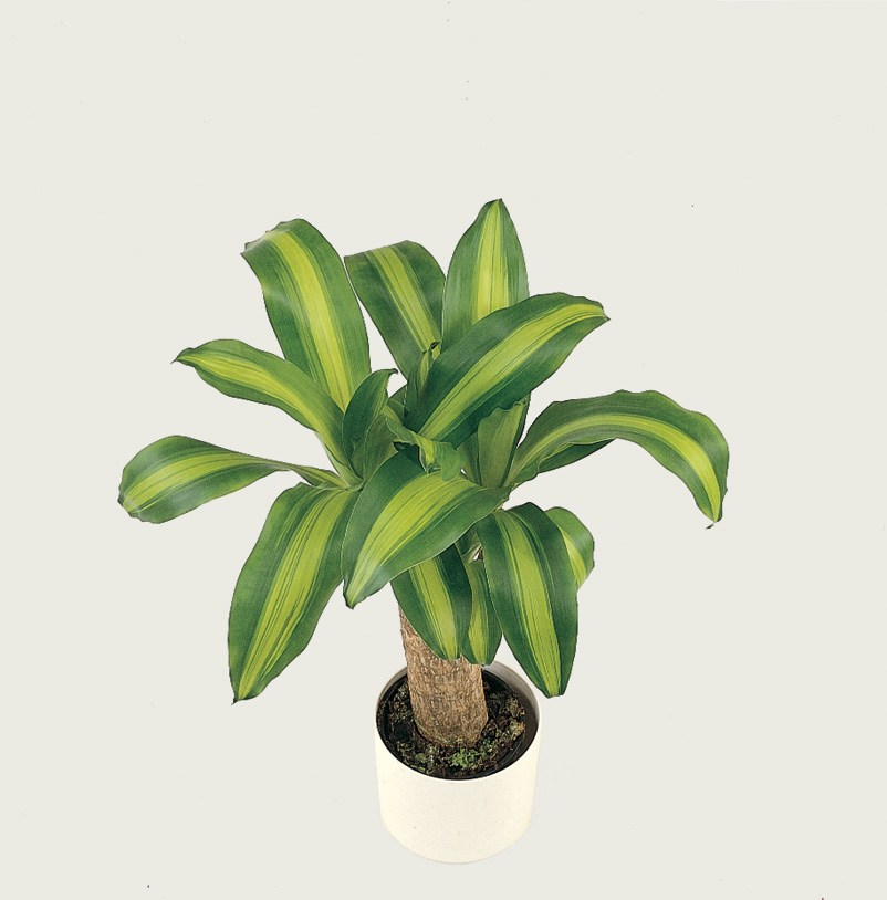 dracaena massangeana care diseases repotting watering. Black Bedroom Furniture Sets. Home Design Ideas
