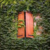 Ivy, an easy climbing plant