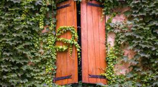 Varnished shutters half closed with a wall covered in ivy.