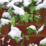 Ivy leaves stay green under snow on a brick wall.