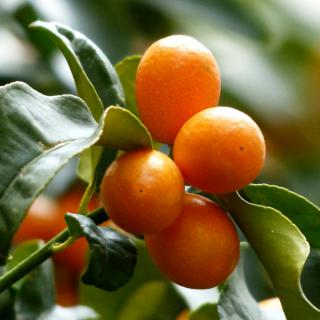 Fruit-loaded kumquat branch with leaves.