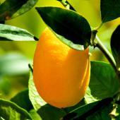 Kumquat, a tiny, original citrus
