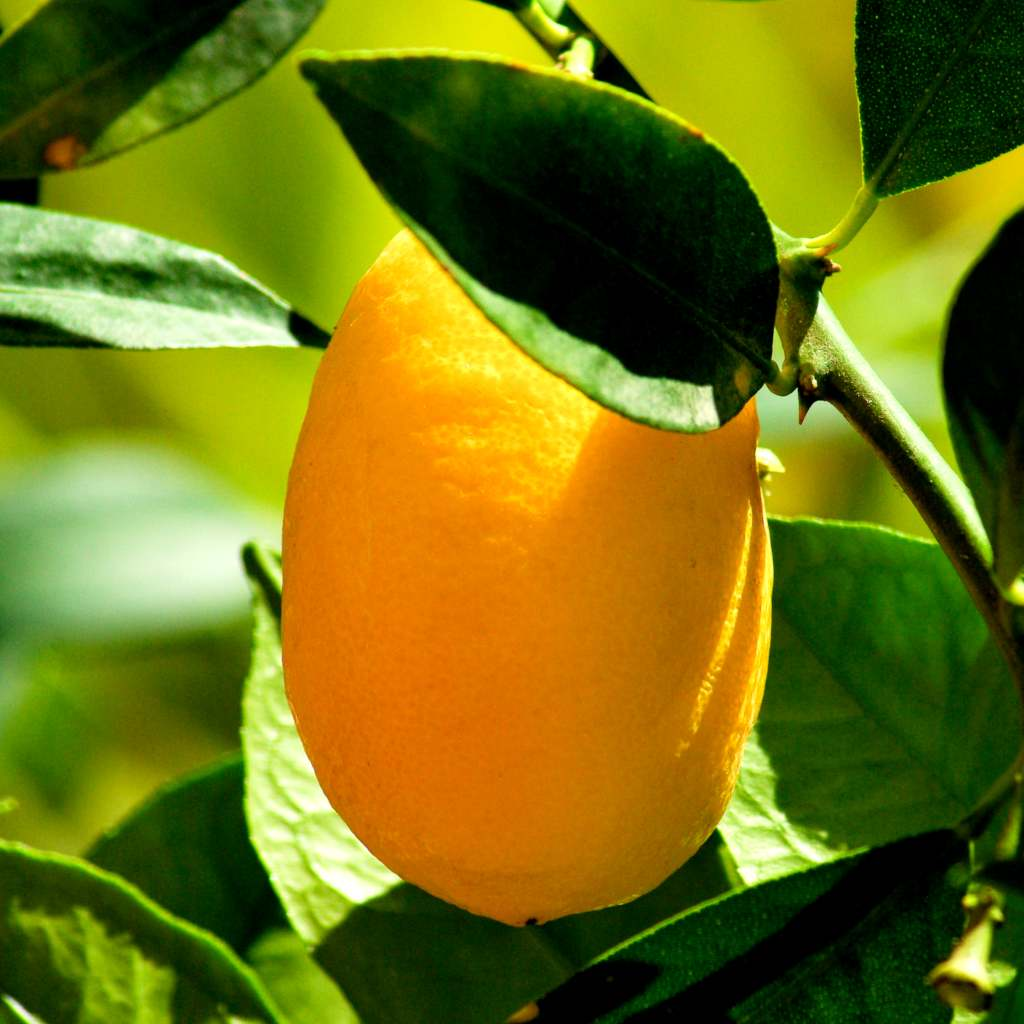 Bright yellow kumquat fruit ripening on tree.