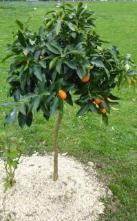 Four-foot kumquat planted in the ground.