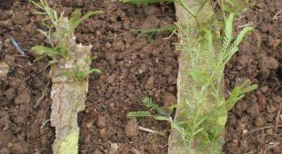 Two slabs of bark from a damaged tree recovered with sprouting mimosa tree shoots.