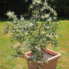 Potted olive trees, ideal for terraces