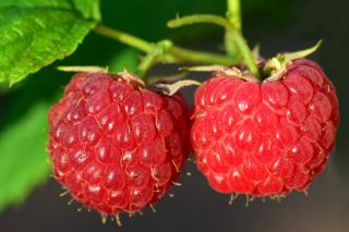 Two ripe red raspberries on the bush.