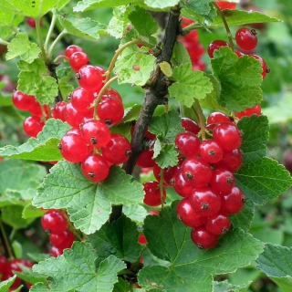 Luscious bunches of red currant hanging from a leaf-filled sprig.