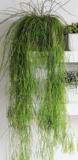 Long hair-like trendy rhipsalis drooping from a top shelf.