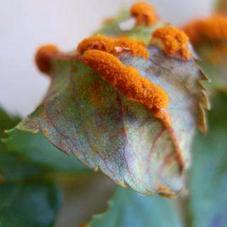 What looks like a hairy orange caterpillar is actually rust spreading along the veins of a curled-up rose tree leaf.