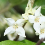 beautiful close-up of two white Russian olive tree flowers