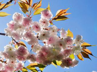 Ornamental cherry tree. Here, a double-flowering variety is shown.